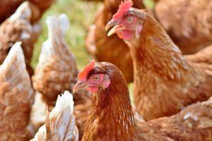 Accueillir des poules dans son jardin